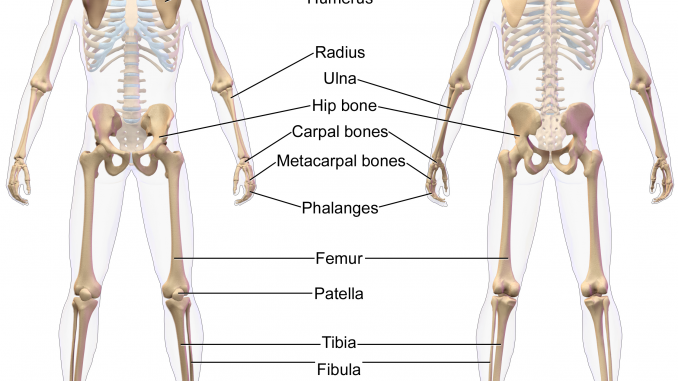 The appendicular skeleton of human body - Online Science Notes