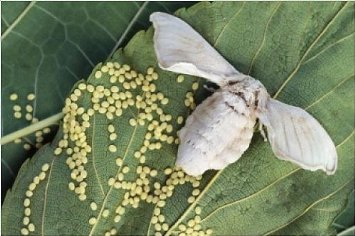 Sericulture and life cycle of silkworm - Online Science Notes