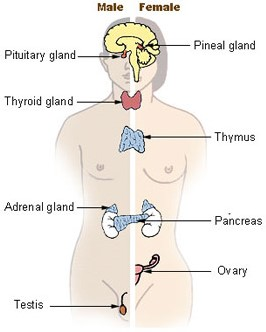 The gonads and other endocrine glands in human body online science the gonads and other endocrine glands in human body ccuart Choice Image
