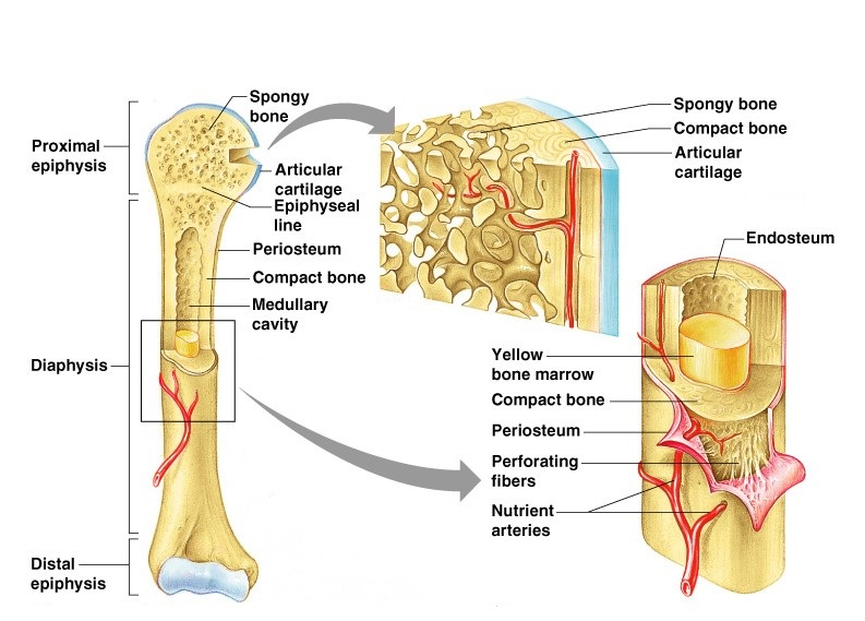 Structure And Functions Of Bones