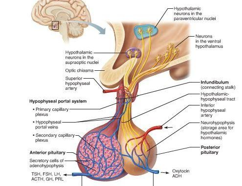 Pituitary gland (The master gland) - Online Science Notes