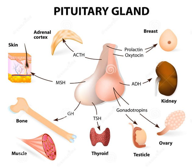 Pituitary Gland The Master Gland Online Science Notes Assessment | biopsychology | comparative | cognitive | developmental | language | individual differences | personality | philosophy | social | methods | statistics | clinical | educational | industrial | professional items | world psychology |. pituitary gland the master gland