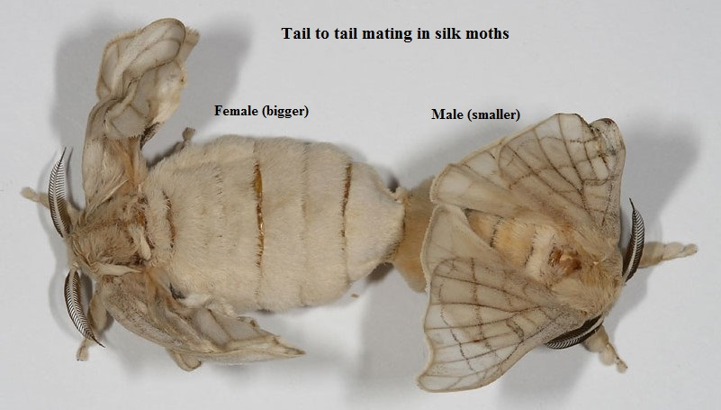 Image result for silkworm adults
