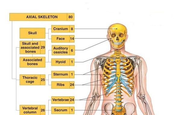 Two main divisions of the human skeleton - Online Science Notes