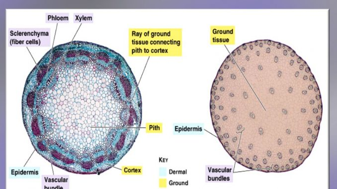 Differences between Dicot and Monocot stem - Online ...