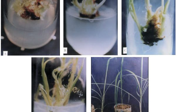 Basic steps of plant tissue culture and its importance