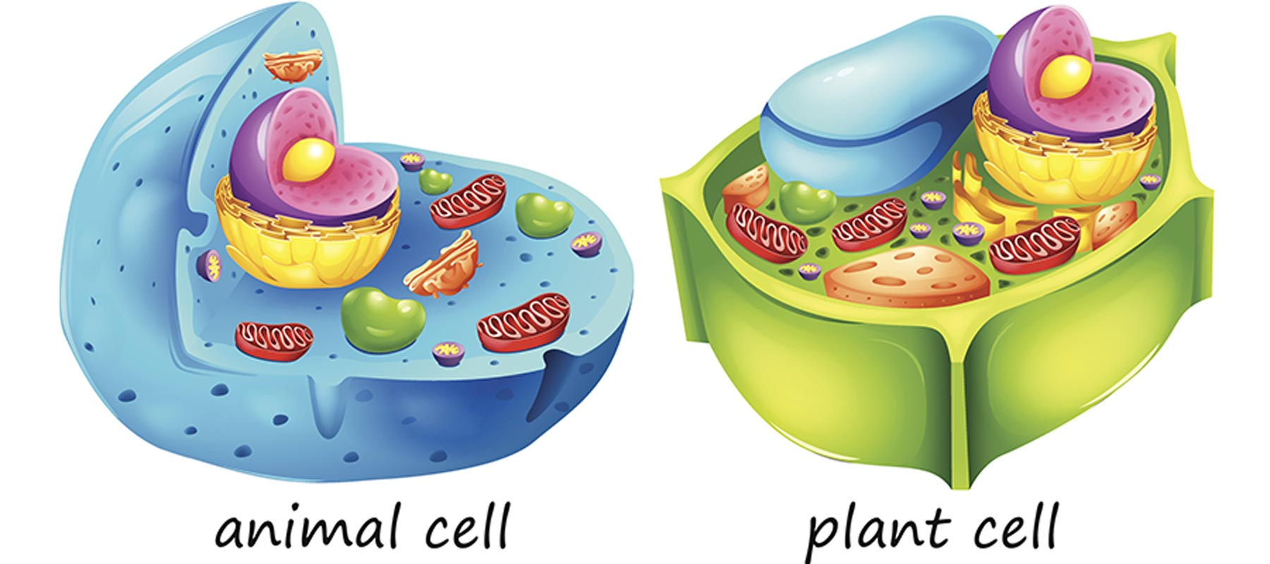 Differences between animal cells and plant cells - Online ... - photo#23