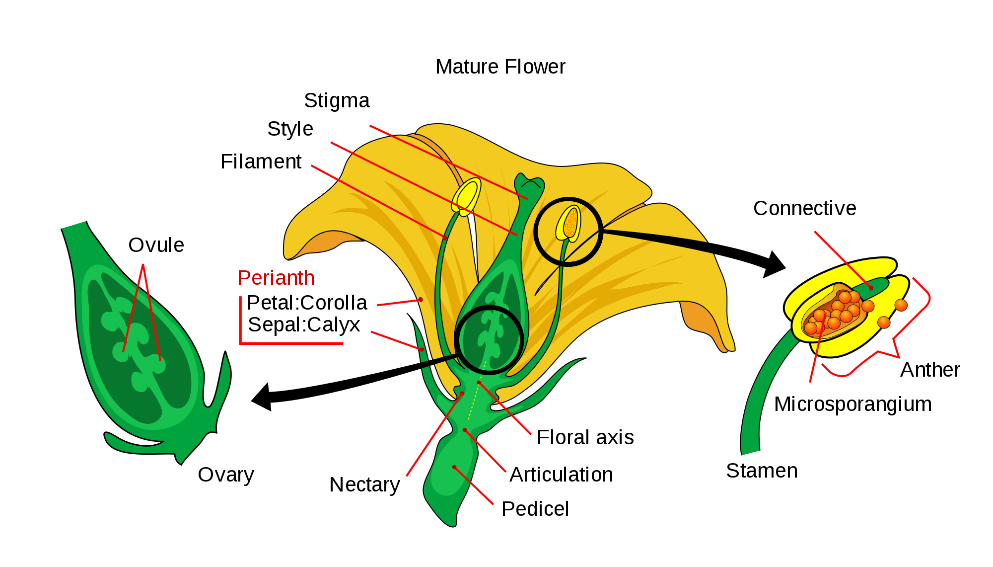 A typical flower and its parts online science notes ccuart Gallery