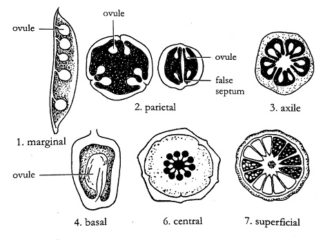 A typical flower and its parts online science notes various types of placentation ccuart Choice Image