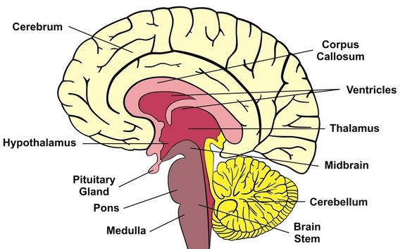 Structure and functions of the human brain - Online Science Notes
