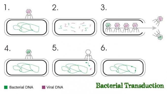 Sexual reproduction in bacteria transduction