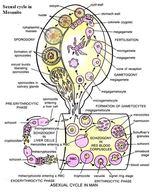 Sporozoites asexual plants
