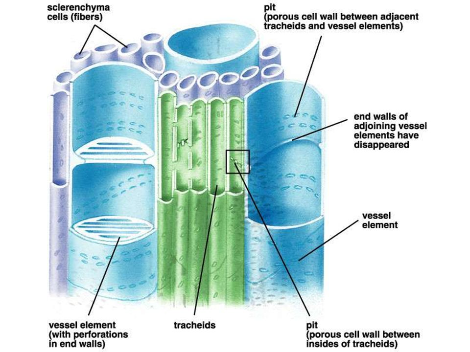 Complex permanent tissues in plants (Structure, types and ...