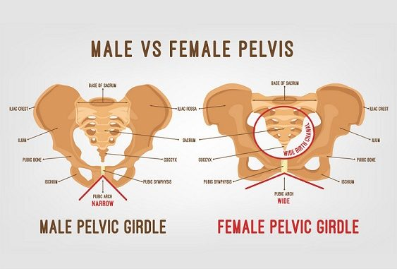 Differences Between Male Pelvis And Female Online Science Notes. Sn Male Pelvis Female. Wiring. Male Pelvic Outlet Diagram At Scoala.co