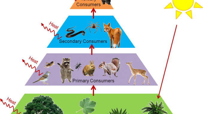 Trophic levels and Ecological Pyramids - Online Science Notes