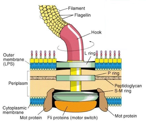 Structure and arrangement of flagella in bacterial cell and types of  flagellar motility - Online Science Notes
