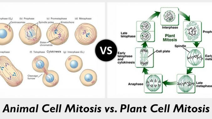 Plant Cell Mitosis Diagram - Aflam-Neeeak